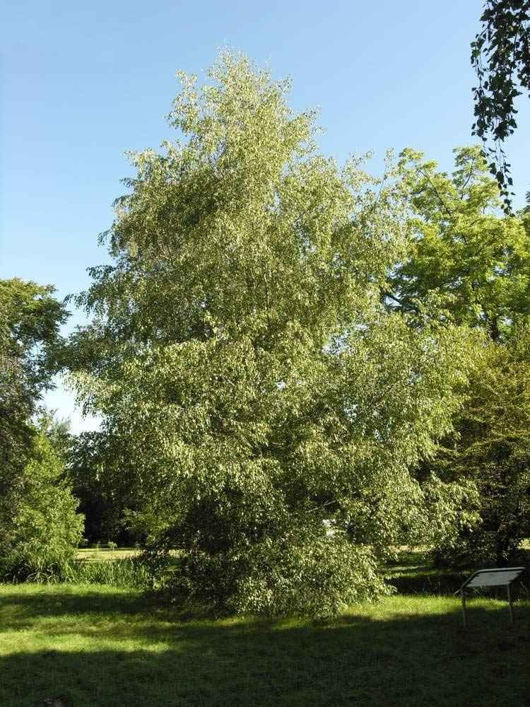 Cheap Gray Birch Tree Find Gray Birch Tree Deals On Line