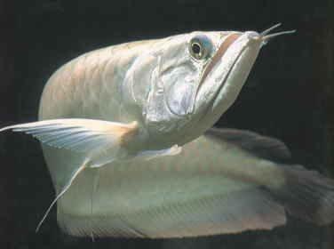My new Albino Silver Arowana   MonsterFishKeepers.com