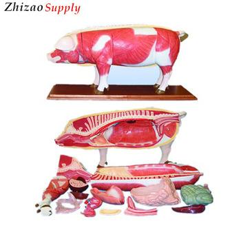 18 Parts Pig Anatomy Models - Buy Pig Anatomy Models,Pig Anatomical ...