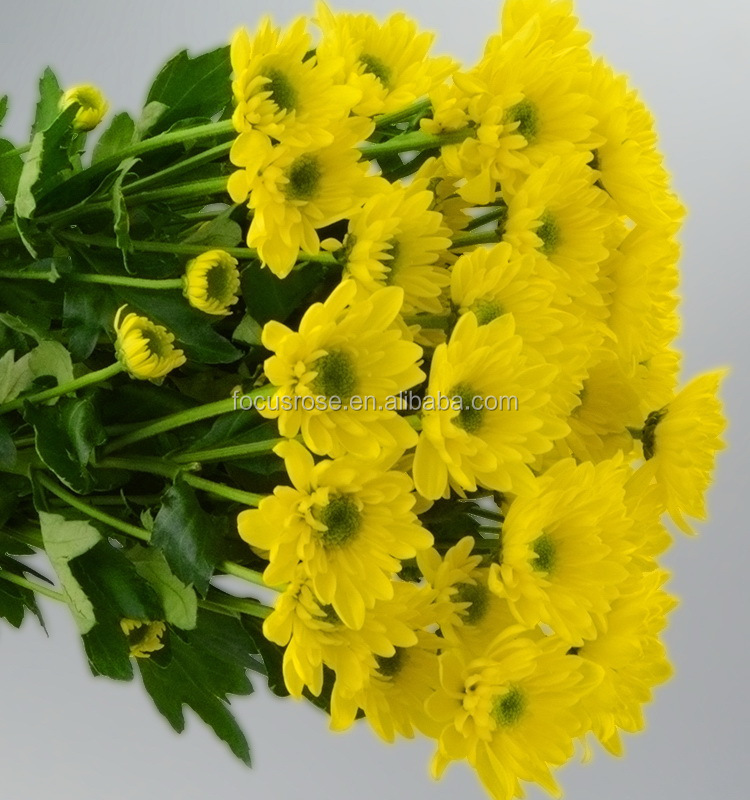 Top quality most popular special offer yellow chrysanthemum