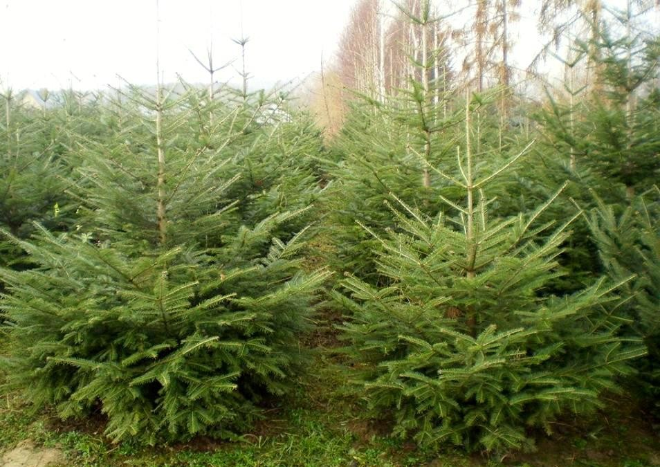 Real Christmas Trees,Silver Fir,Needles,Abies Alba,Up To 9ft/3m ...