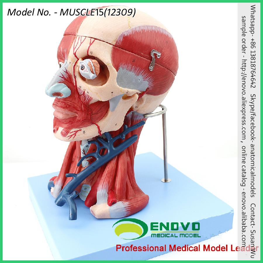 Venta al por mayor maqueta del cerebro humano-Compre online los ...