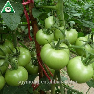 strong growth and medium maturity hybrid green tamato seeds Green Apple F1