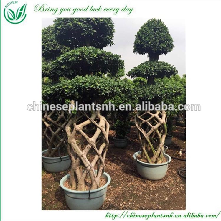 3m Large Outdoor Bonsai Trees