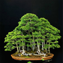 20 juniper bonsai tree potted flowers office bonsai purify the air absorb harmful gases free shipping