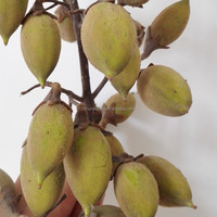 Plant paulownia hybrid 9501 9502 9503 seeds for agriculture