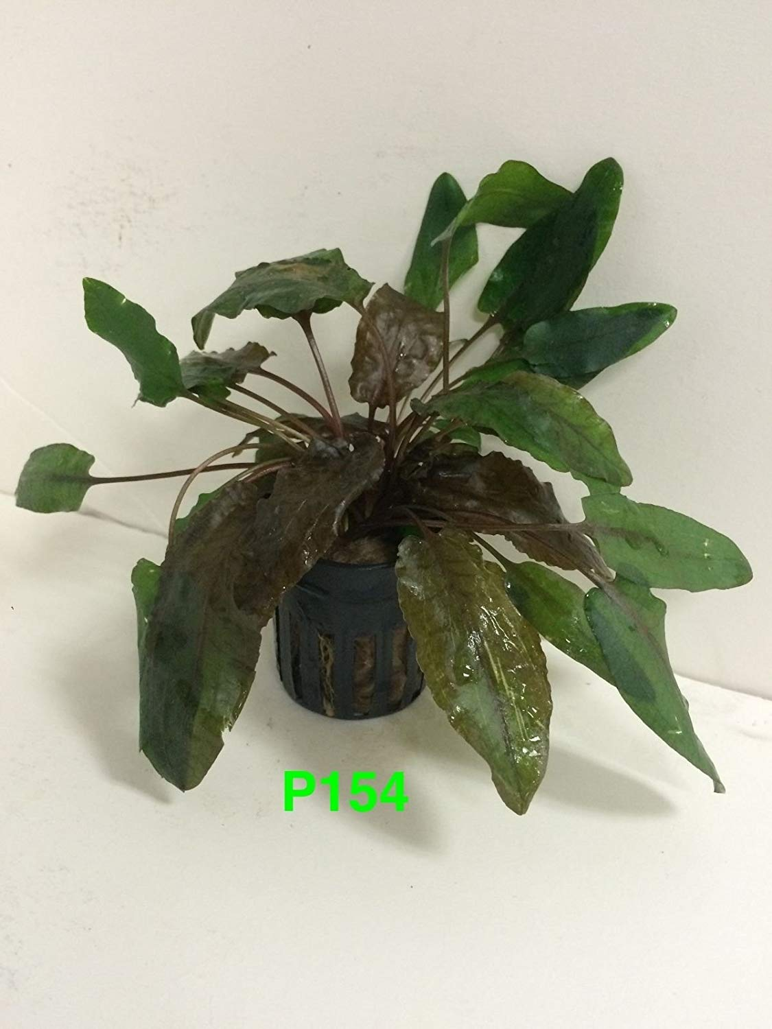 Beautiful Live Aquatic Fresh Water Potted Plant (Cryptocoryne tropica)