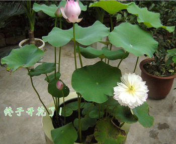 Hot Mixed Colors Lotos Seed Water Lily Seeds For Growing Bowl Lotus Product On Alibaba