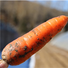 wholesale Chinese fresh carrots