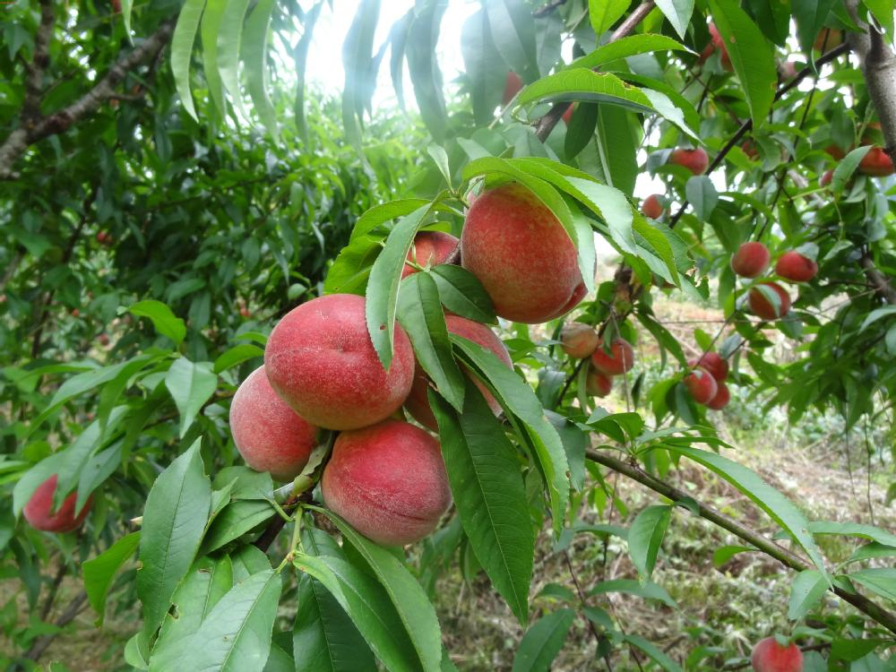 2014 High Quality Fruit Tree Seeds Peach Seed For Sale
