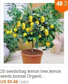 100pcs  dichondra seed,Dichondra Repens lawn seeds money grass hanging decorative garden plants do flower seeds for Home garden