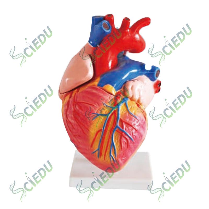 Tamaño Natural Anatomía Modelo De Corazón Humano - Buy Natural ...