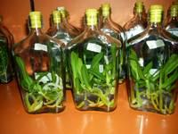 Orchids Vanda Ceorulea 5-6 Young Plants In Bottle
