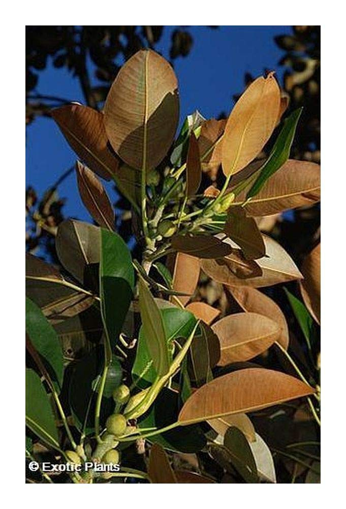 Cheap Growing Rubber Tree Find Growing Rubber Tree Deals