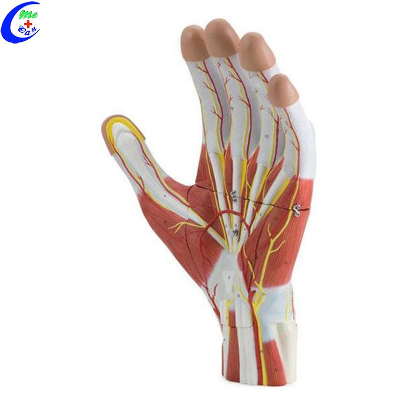 Plastic Hand Anatomical Model Buy Hand Modelplastic Hand Model