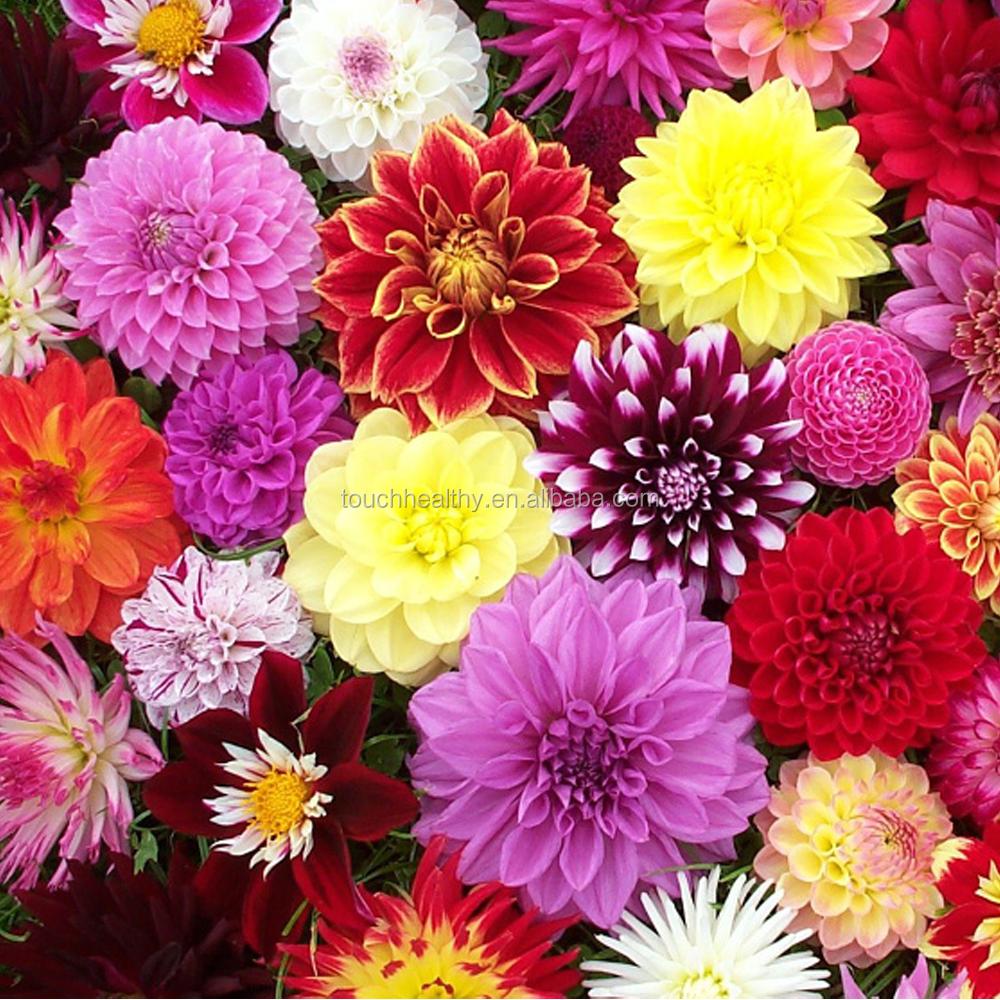 Touchhealthy Supply Dahlia Pinnata Bulbs Flower Bulbs For Planting