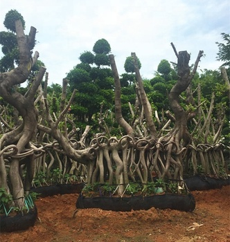 Big Trees That Look Like Bonsai Trees Bonsai Tree