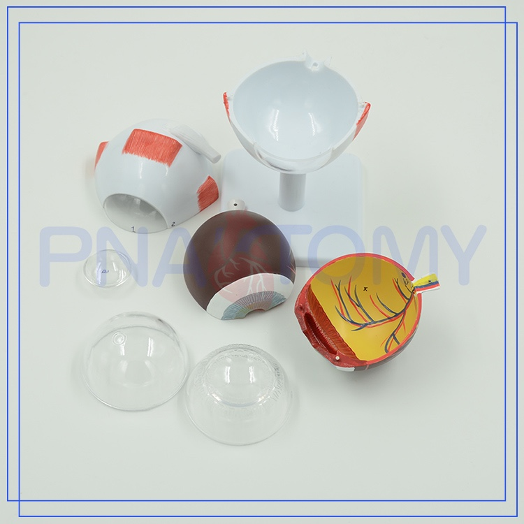 China Human Anatomy Eye, China Human Anatomy Eye Manufacturers and ...
