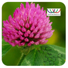 Radiationless Non-gmo Plants Antitumor Red Clover Extract Powder with 2.5% 8% 20% 40% Isoflavones