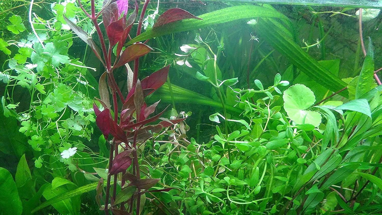 Cheap Live Aquatic Plants For Sale, find Live Aquatic Plants For