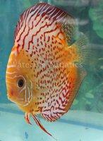 High Quality Discus Fish Breeder,Freshwater Fish Ecporter ...