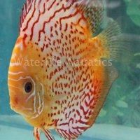 Aquarium Fish,Tropical Fish,Discus,Angle Fish,Plescos,...