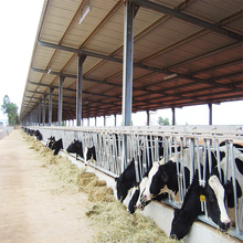 Prefab steel structure dairy cow shed farm