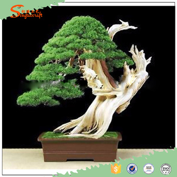 Indoor Cedar Bonsai Tree Topiary Cypress Pine From Chinese ...