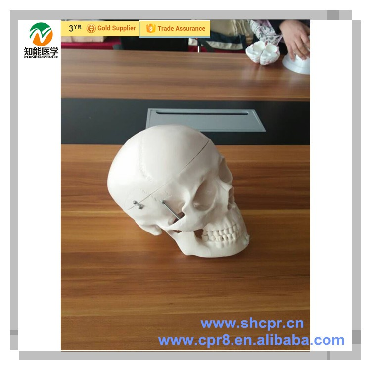 Medical Anatomy Models Wholesale, Anatomy Model Suppliers - Alibaba