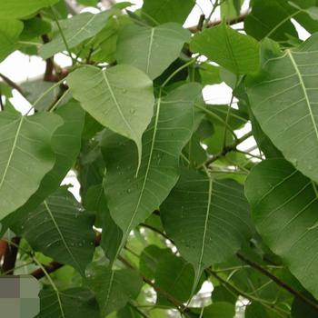 Bodhi Tree Ficus Religiosa