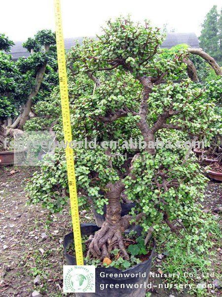 Portulacaria Indoor And Outdoor Bonsai Buy Araucaria Heterophylla Bonsai Outdoor Bonsai Product On Alibaba Com