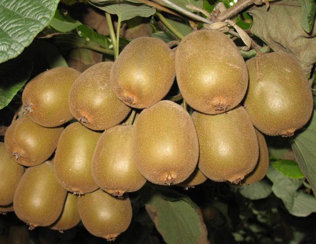 kiwifruit seed kiwi fruit seeds kiwi tree seeds for growing high, Beautiful flower