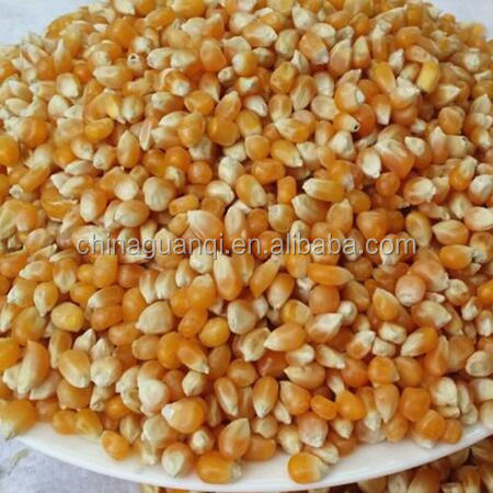 Bulk Yellow Corn for Animal Feeding