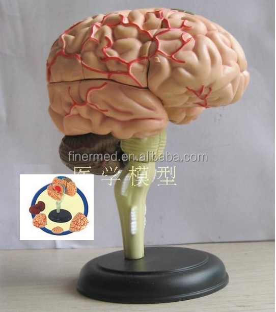 human brain model, human brain model suppliers and manufacturers, Muscles