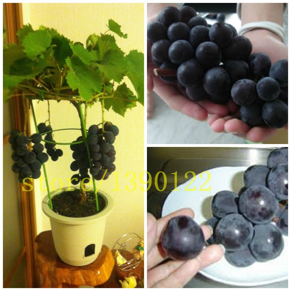 50/bag grape seeds bonsai fruit black grape seeds Dwarf grapes tree easy grow Japanese Dwarf fruit for home garden planting
