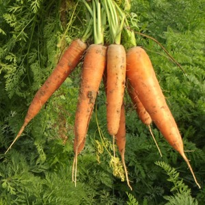 Red Fresh Carrot For Sale