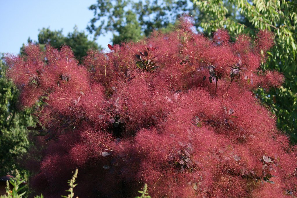 40 Pcs Pack Cotinus Coggygria Seeds Ornamental Plant Smoke Bush Shrub Seeds New