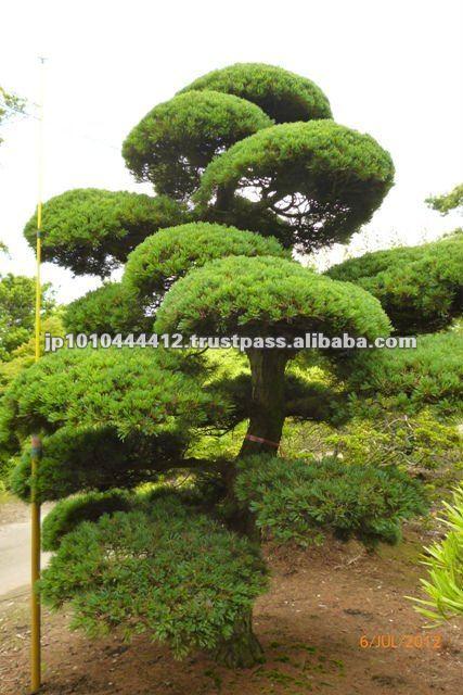 Japonais de pin de grande bonsa plantes d 39 ext rieur for Grande plante exterieur