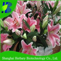 Pink Lilium flower bulbs with competitive price