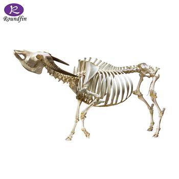 Anatomy Model Of Cow Plastinated Model Cow Specimens Buy Anatomy