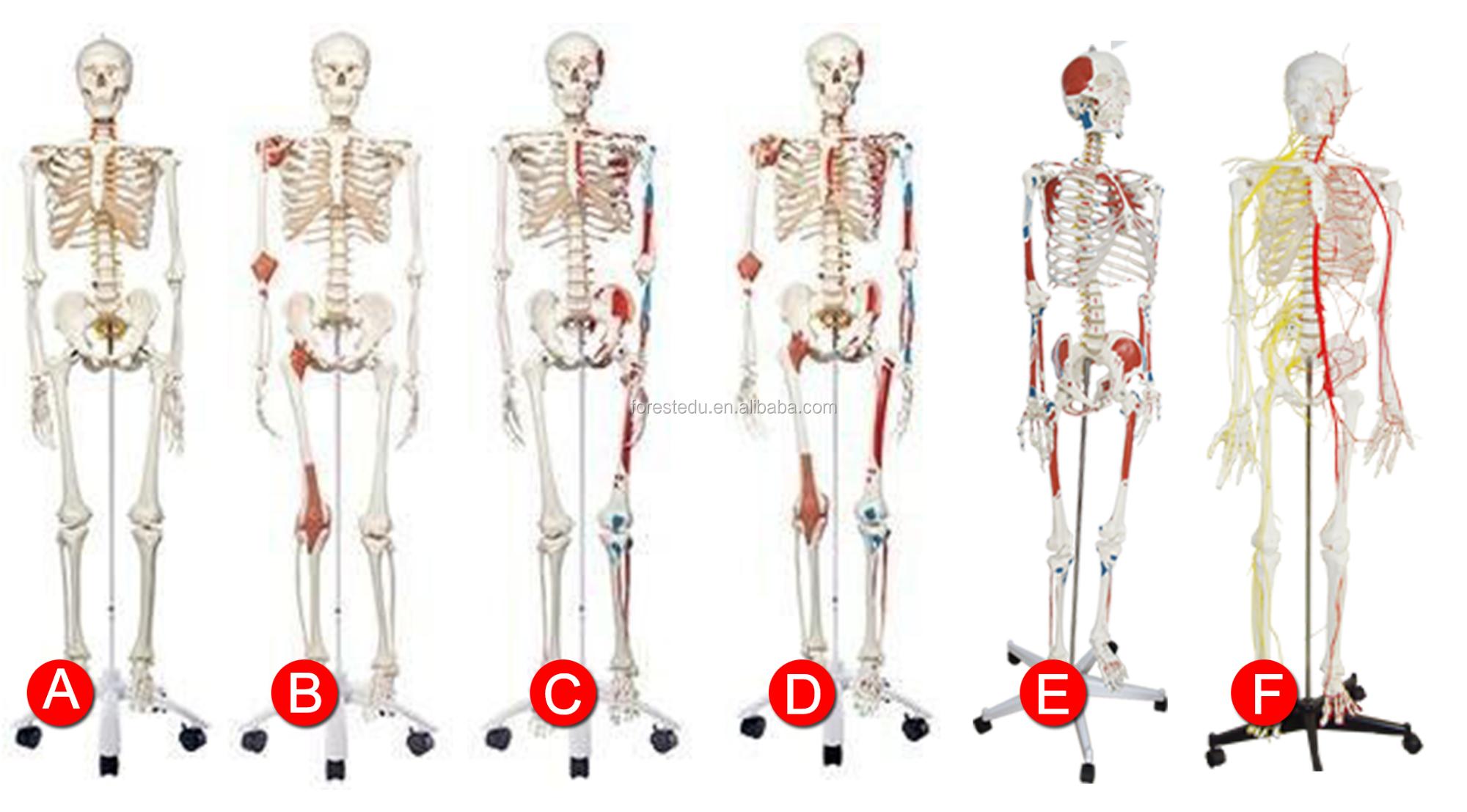 Standard Skeleton Rod Mount Legs Removable Life Size 180cm Human