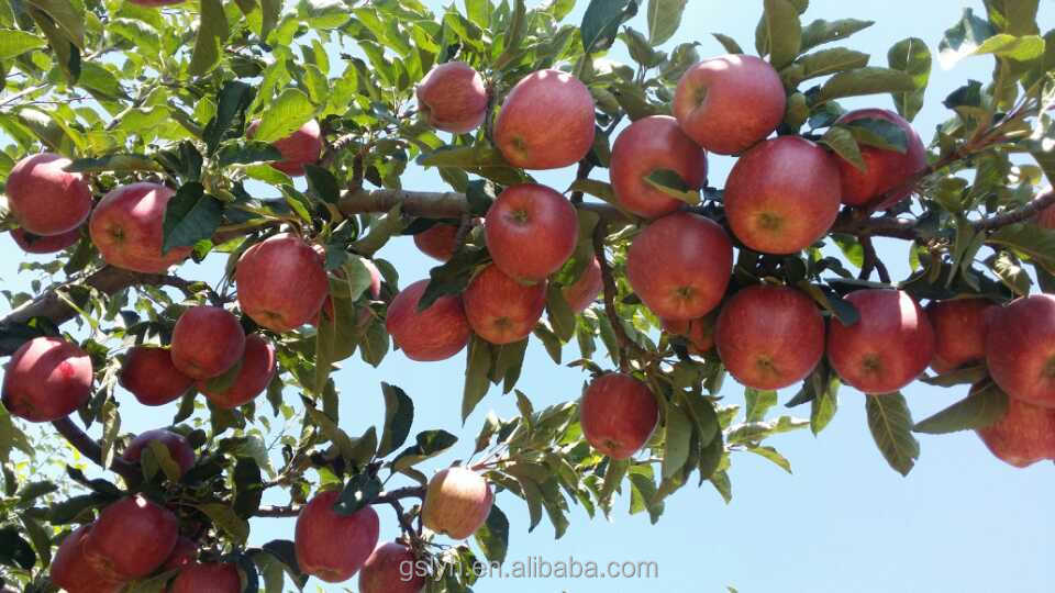 JINGNING APPLE ORCHARD