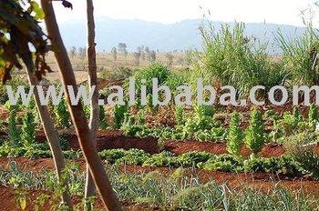 Cassava Farming - Buy Cassava Investors Product on Alibaba com
