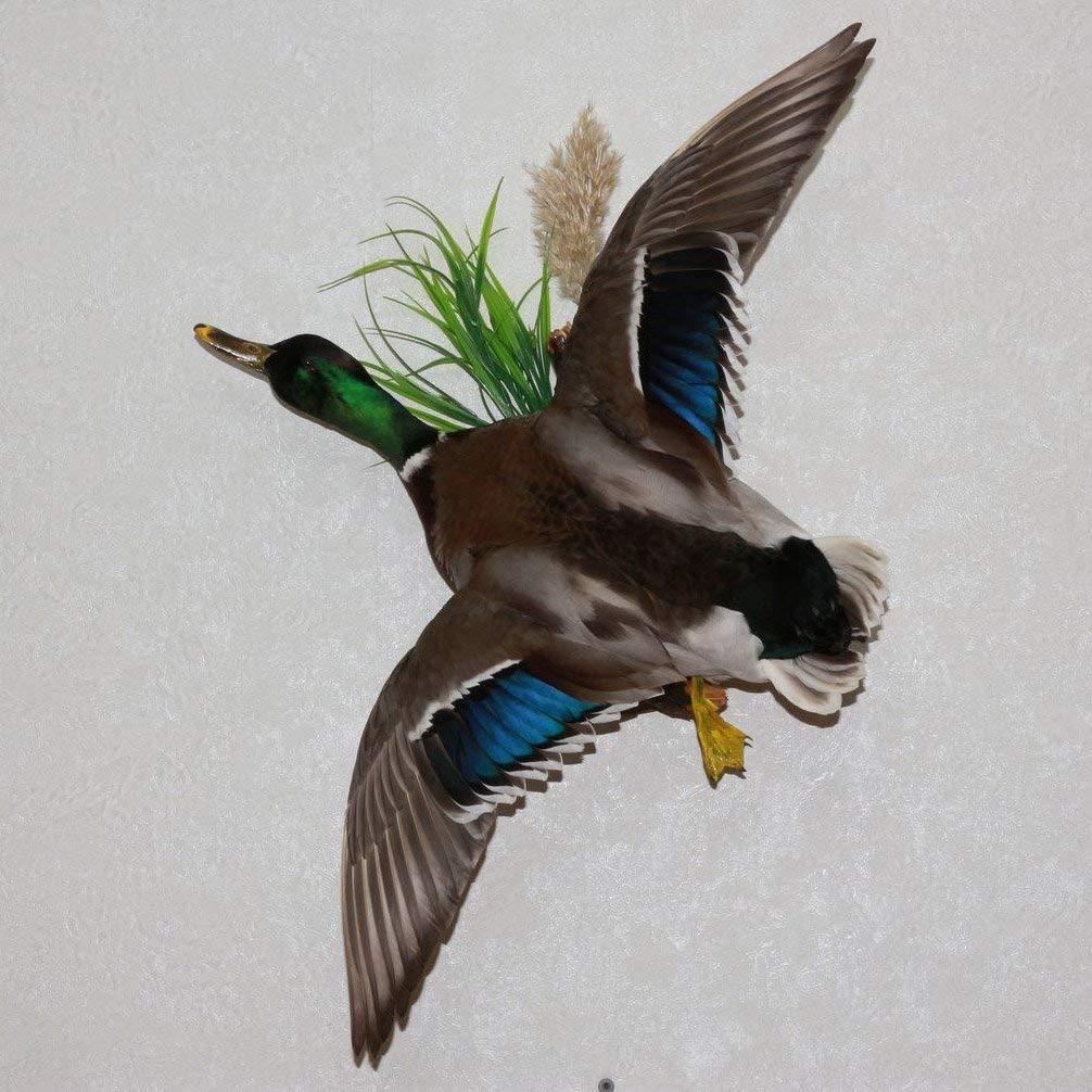 Buy NORTHERN MALLARD DUCK - TAXIDERMY BIRD MOUNT, STUFFED