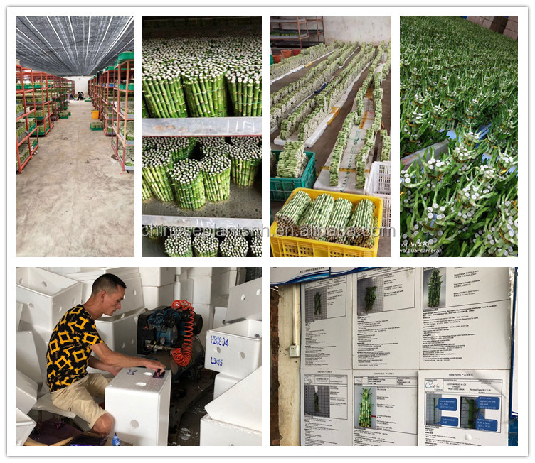 Indoor Decoration Wholesale Lucky Bamboo
