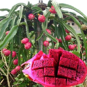 Pitaya Nursery Fruit Trees