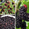 Best Price of frozen mulberry with high quality