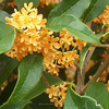 Osmanthus Oil (Osmanthus Fragrans)