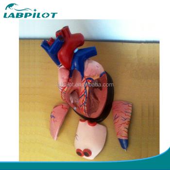 Medical Anatomie Herz Modell 5 Teile,Mitte Herz Modell,Herz 3d ...