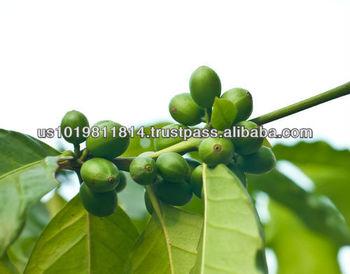 green coffee bean extract para adelgazar